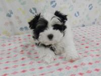 These are two very sweet, lovable and playful Morkie