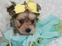 I have a litter of Morkie puppies the mommy is a yorkie