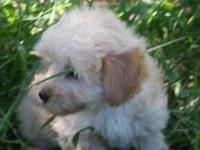 We call this little Morkiepoo fellow ToTo and he has a