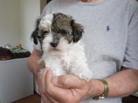 3 males. 9 weeks old. 1/2 maltese, 1/4 yorkie, 1/4
