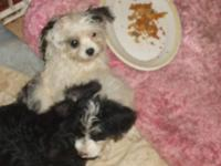morkies 2 parti color 1 male 1 female and two solid