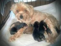 6 teeny tiny, perfect 2nd generation Morkies. Mom is 5#