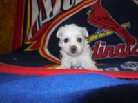 Morkie males adorable little puppies Will have shots