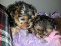 I have two beautiful male Morkies and they are ready to