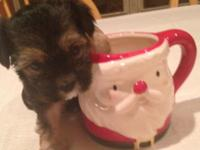 1st Generation Morkie puppies. Registered Maltese and