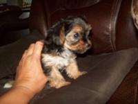 2 male morkies $375 ... 9 weeks old1 lady morkie $450 9