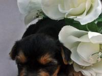 Beautiful Classic style yorkie look These babys are