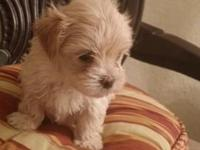 Beautiful female morkie..will be ready by Nov 3.with 8