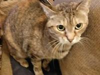 Morticia - declawed's story Tisha is a beautiful torbie