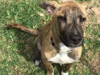 Moscow is a sweet 4 month old plotthound mix. He is