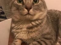 Moses is a four year old grey and white male  tabby