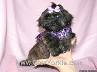 Visit our website - www.StarYorkie.com to see all