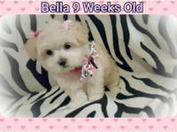 Bella is a very rare platinum Blonde Morkie-Malshi with