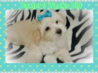 Baxter is a very rare platinum Blonde Morkie-Malshi
