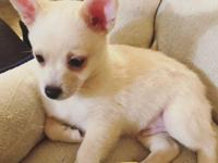 This guy is 75% pom and 25% chihuahua. Last pomchi