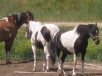 I have many horses and ponies here that I am selling at
