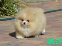 Just in time for mothers day! Gorgeous pomeranian 3lbs