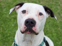 Motley is a 2 year old white male American Pit Bull