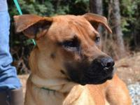 Mountain Cur - Bella - Large - Adult - Female - Dog It