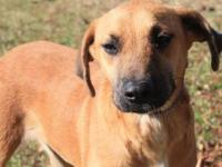 Mountain Cur - Boone - Medium - Young - Male - Dog