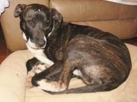 Mountain Cur - Bowzer - Medium - Young - Male - Dog