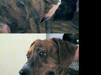Mountain Cur - Brenndy - Medium - Adult - Female - Dog