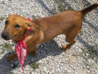 Mountain Cur - Buster - Medium - Adult - Male - Dog