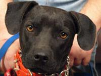 Mountain Cur - Christy - Medium - Young - Female - Dog