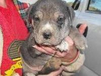 Mountain Cur - Dudley - Medium - Baby - Male - Dog