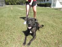 Mountain Cur - Elliot - Medium - Adult - Male - Dog Hi