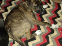 Mountain Cur - Frankie - Medium - Young - Female - Dog