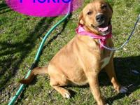 Mountain Cur - Gracie - Medium - Senior - Female - Dog