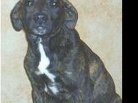 Mountain Cur - Jacquelyn - Small - Young - Female -