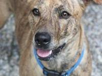 Mountain Cur - Jed - Large - Adult - Male - Dog For