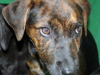 Mountain Cur - Kelsey - Medium - Baby - Female - Dog