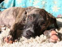 Mountain Cur - Kris - Large - Baby - Female - Dog