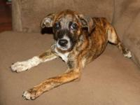Mountain Cur - Londyn - Medium - Baby - Female - Dog