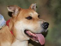 Mountain Cur - Louie - Medium - Young - Male - Dog
