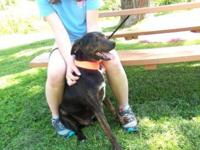Mountain Cur - Luke - Medium - Young - Male - Dog If