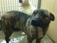 Mountain Cur - Malena - Medium - Adult - Female - Dog