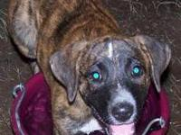 Mountain Cur - Noel - Medium - Young - Female - Dog