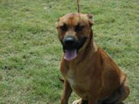 Mountain Cur - Rosco - Large - Adult - Male - Dog Rosco
