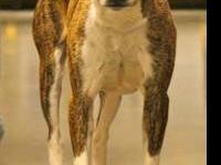 Mountain Cur - Sarge - Medium - Adult - Male - Dog