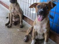 Mountain Cur - Spot&sparky - Large - Young - Male -