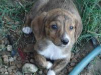 Mountain Cur - Tugger - Medium - Baby - Male - Dog