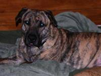 Mountain Cur - Zeus - Medium - Young - Male - Dog My