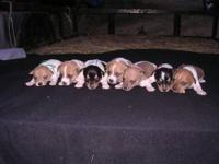 I have 3 Mountain Feist puppies for sale. I have 3