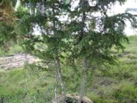 We are selling Mountain Hemlocks and Alpine Firs coming