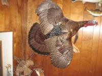 Fox mount show quality. $300 Turkey- 25 lbs-11 inch