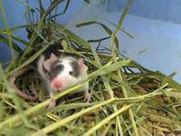 Mouse - A843041 - Small - Adult - Female - Small &